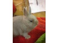 Lovely Small Lilac Netherland Dwarf Buck Bunny Rabbit