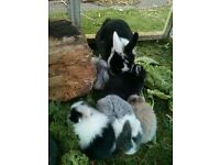 BABY BUNNIES for Sale -easy to handle children/adults