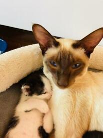 Siamese X Kittens. 7 gorgeous little bundles.