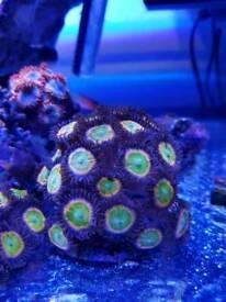 High end zoas for marine aquarium
