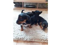 Miniature chihuahua/yorkshire terrier (chorkie) puppies ready now 1 gi