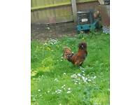 Polish roosters