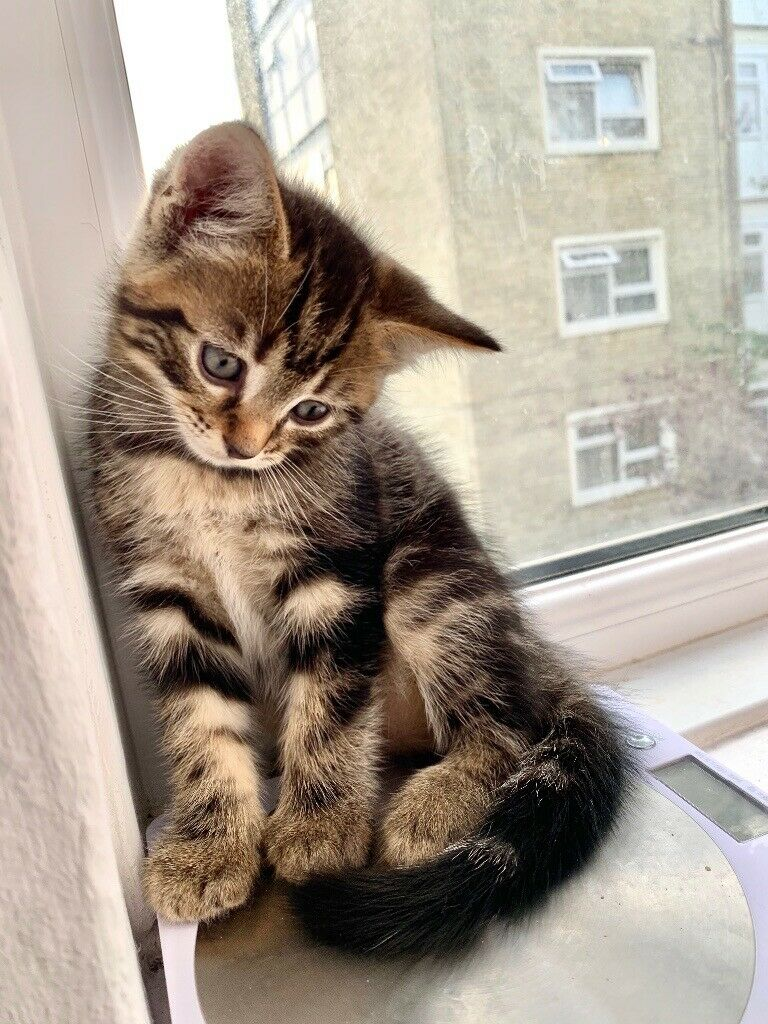 Reserved 4 Ragdoll Crossed Kittens For Sale Please Read Description Carefully In Wood Green London Gumtree
