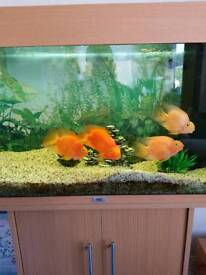 """2 large parrot fish and 1 x 8"""" plec for sale"""