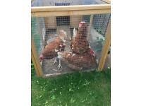 3 laying chickens