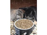 Beautiful mini lop babies for sale