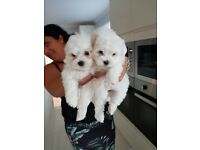 MALTESE PUPPIES READY NOW