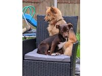 Dogs for sale female pomsky and male jackshit