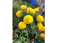 Bright yellow African Marigold with planter