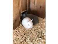Stunning pure bred Netherland dwarf baby rabbit