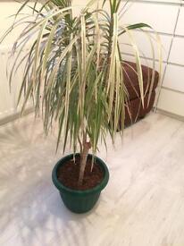 Tall Decorative Plant