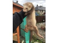 2 ferret kits for sale (£20 each)