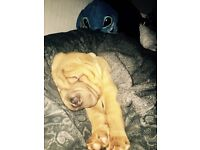 Shar pia puppy 8 months