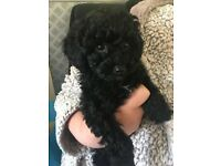 Miniature poodle puppy READY TO LEAVE