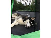 Malamute puppy 10 months Old