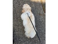 5 month old Lhasa apso male puppy for sale