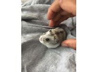 Russian dwarf hamster with cage with tunel system