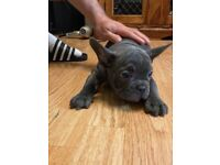 FRENCH BULLDOGS MALE PUPS, MICROCHIPPED KC REGISTERED