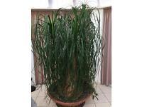 Large Beaucarnea Plant