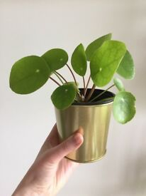 Pilea Peperomioides house plant for sale (Chinese money plant)