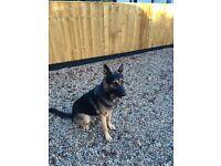 Lovely German Shepherd Dog for Sale