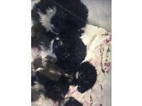 F1 cockerpoo puppys