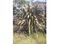 FREE palm like garden shrub - will need to be collected and will need a large vehicle or van