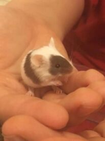 Cute tame baby mice pet mouse rodent hand tame friendly pets chocolate black white not rat hamster