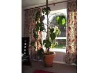 Mature 'Swiss' Cheese Plant - 7ft Tall - vgc.