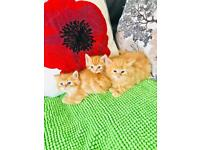 Ginger kitten - one available