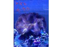Soft corals for marine aquarium