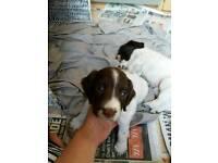 Springer spaniel puppy s.