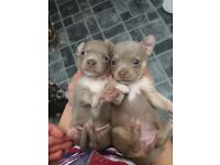 Blue and Lilac Chihuahua pups