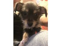 Chihuahua cross puppy last one of litter ready to go today