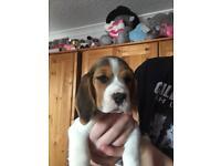 KC Beagle girl puppys