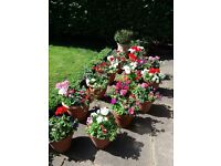 Beautiful summer planted pots in various colours and in a choice of terracotta or plastic pots