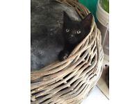 Beautiful black striped male kitten. Ready now