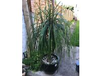 Elephant foot indoor palm tree for sale 160cm