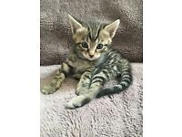 Gorgeous Taby Kitens for sale