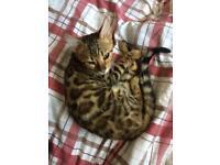 1 x Male pedigree Bengal for sale