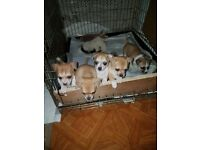 jack russell x chihuahua puppies ready 19th only 3 left