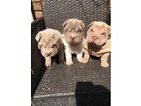 Shar pei pups available for forever homes