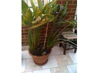 Bird Of Paradise Plant - Strelitzia Reginae