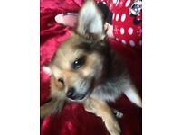 Beautiful chihuahua pup (girl)