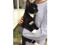 male cat for sale - coventry