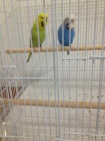 Pair of budgies with new white cage