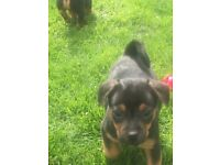 Jack Russel x Black and Tan puppies for sale