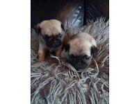 Pug x puppys