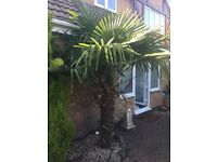 Approx 8ft mature palm tree