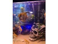 Extra large angel fish